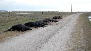 Dead cattle lie piled on the side of the road north of Crawford, Neb., killed by an early blizzard last week. (Photo by Fred Knapp, NET News)