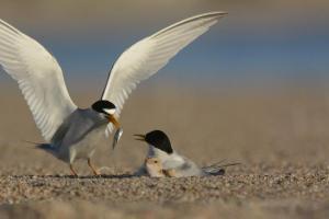 Adult terns feeding on the beach near Ashland. (Photo by Michael Forsberg, Platte Basin Timelapse)