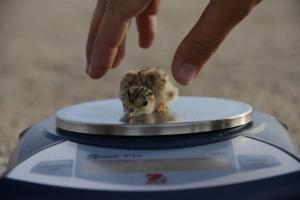 Biologists weigh an interior least tern chick to collect population data for the Tern and Plover Conservation Partnership. (Photo by Michael Forsberg, Platte Basin Timelapse)