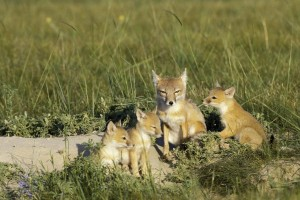 Swift fox grow to be about 12 inches tall, or about the size of a cat. Corral said they like to make their dens in loamy, sandy soil. (Photo courtesy of NEBRASKAland Magazine/Nebraska Game and Parks Commission)