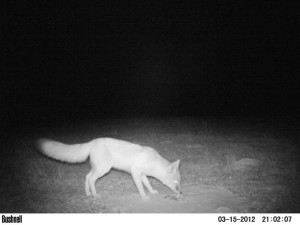To date, Corral said swift fox have been photographed in 33 different locations, mostly in the northwest area of the Nebraska panhandle. Corral said the cameras have also documented more than 25 species of mammals and several bird species as well. (Photo courtesy of Lucía Corral)