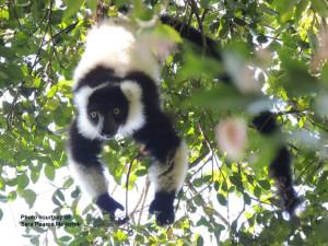 Black-and-white ruffed lemur by S Pearce Meijerink