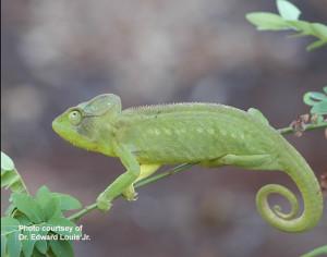 Furcifer's chameleon by EE Louis Jr