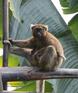 Greater bamboo lemur by EE Louis Jr