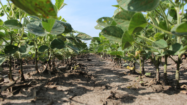 Underneath a stand of soybeans, the soil is free of weeds thanks to chemical herbicides like glyphosate. (Photo by Matt Brooks for NET News)
