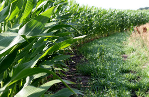 Farmers rely on herbicides to keep weeds out of their corn. In a 2014 survey conducted by the U.S. Department of Agriculture, farmers reported using more than 100 million pounds of glyphosate on corn acres. (Photo by Matt Brooks for NET News)
