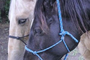 Frosty (left) and Misty (right) are two of the therapy horses used at Brave Hearts Ranch. (Photo by Ben Bohall, NET News)