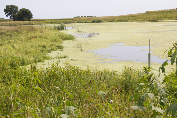 Constructed wetlands surrounded by long grasses serve as a natural filter to remove nitrogen from water flowing off farm fields so only clean water reaches rivers. (Photo by Amy Mayer/Harvest Public Media)