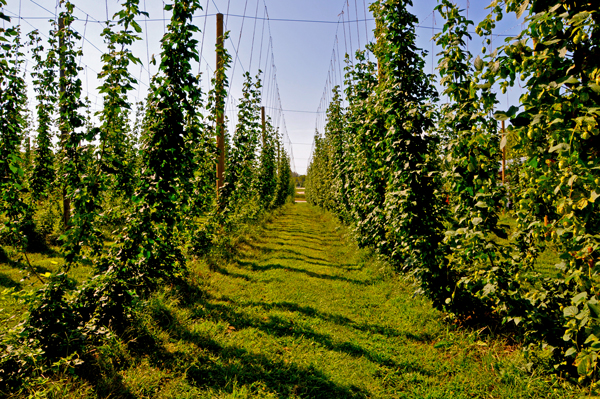 Nebraska Hop Farms in Plattsmouth is the largest hop yard in Nebraska, and the first hops test plot in the Midwest. (Photo by Ryan Robertson, KVNO News)