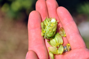 The yellow clusters inside hop cones are called lupulin. Once used as medicine, brewers now use lupulin to give beer distinct flavor profiles. (Photo by Ryan Robertson, KVNO News)