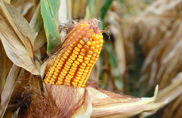 Corn ready to pick in eastern Nebraska (Grant Gerlock /Harvest Public Media)