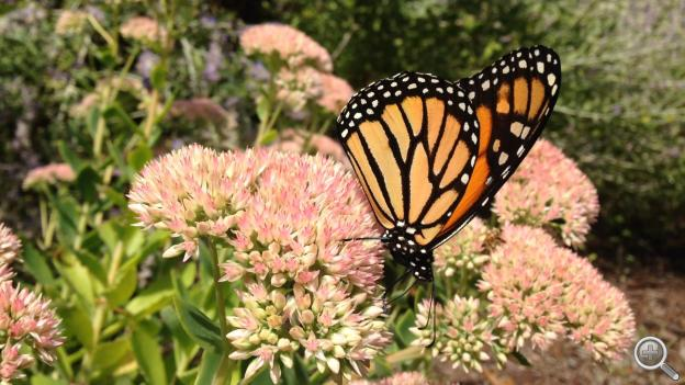 One study says monarch butterfly populations declined 81 percent between 1999 and 2010. (Image by Brian Seifferlein, NET)